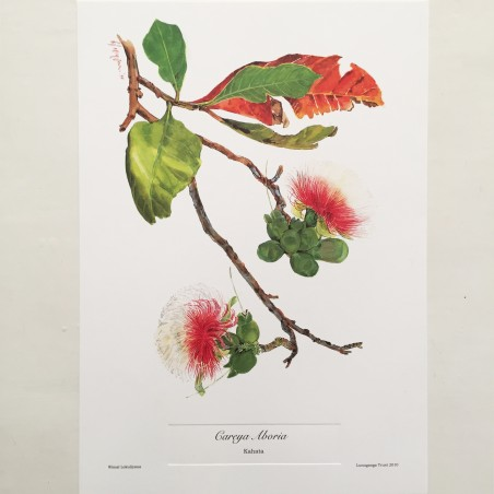 Kahata (Careya Aboria) Botanical Print